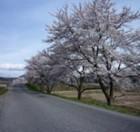 伊南川沿いの桜