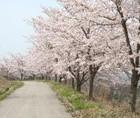 下西連の桜並木