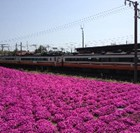 磐梯町駅の芝桜