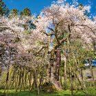 慧日寺の木ざし桜(種まき桜)