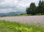 アザキ大根の花畑