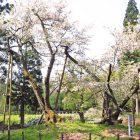 大鹿桜ガイド