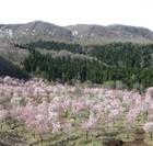2001本の桜が咲き誇る 桜峠