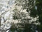 金山町の花 こぶし