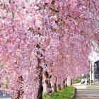 日中線記念自転車歩行者道しだれ桜並木