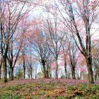 大林ふるさとの山のオオヤマザクラ