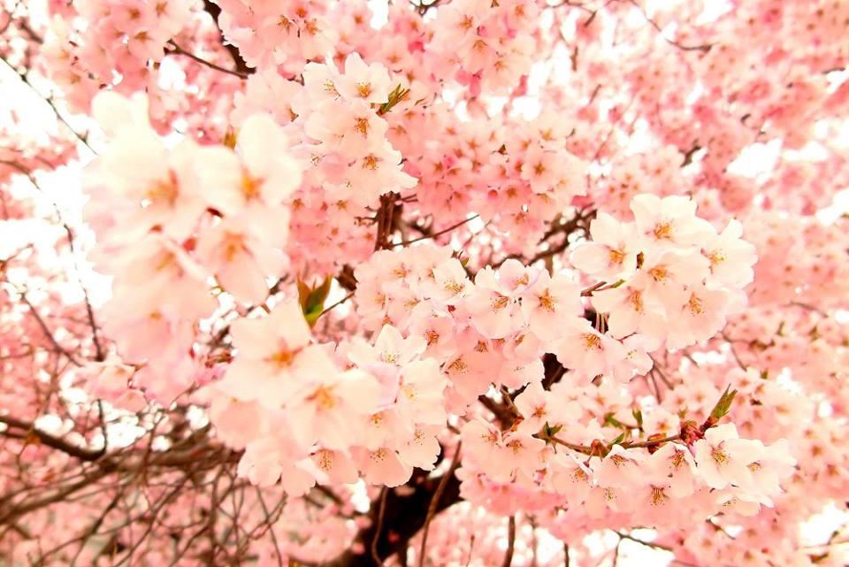 Kohigan Zakura (Early-flowering Cherry)